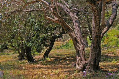 Olive Trees, Olive roads, Samos, Gastronomy, North Aegean Islands, Greece
